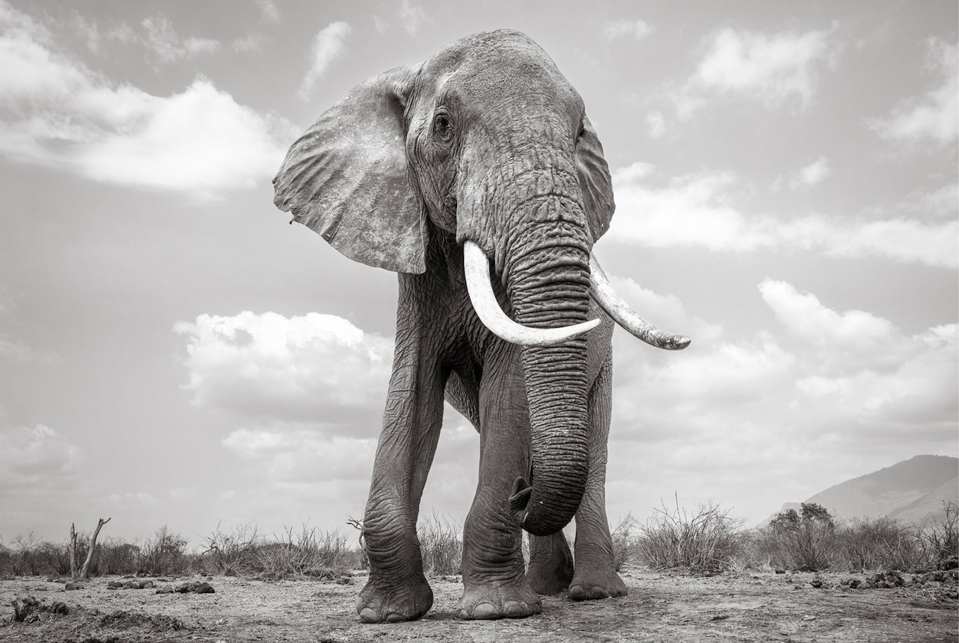 will burrard lucas sony alpha 6500 black and white elephant front view