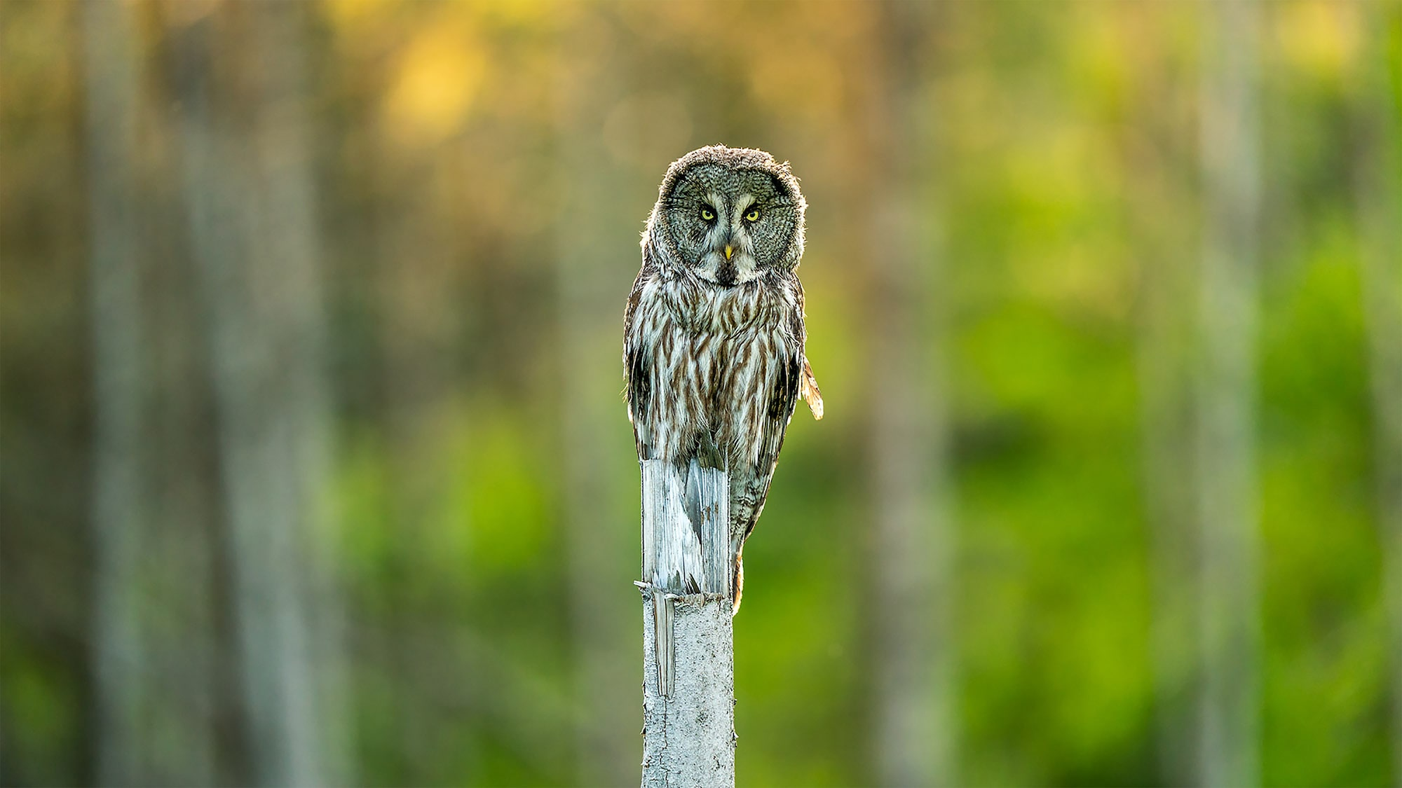 floris smeets sony alpha 9 grey owl sitting on a post staring intently at the photographer