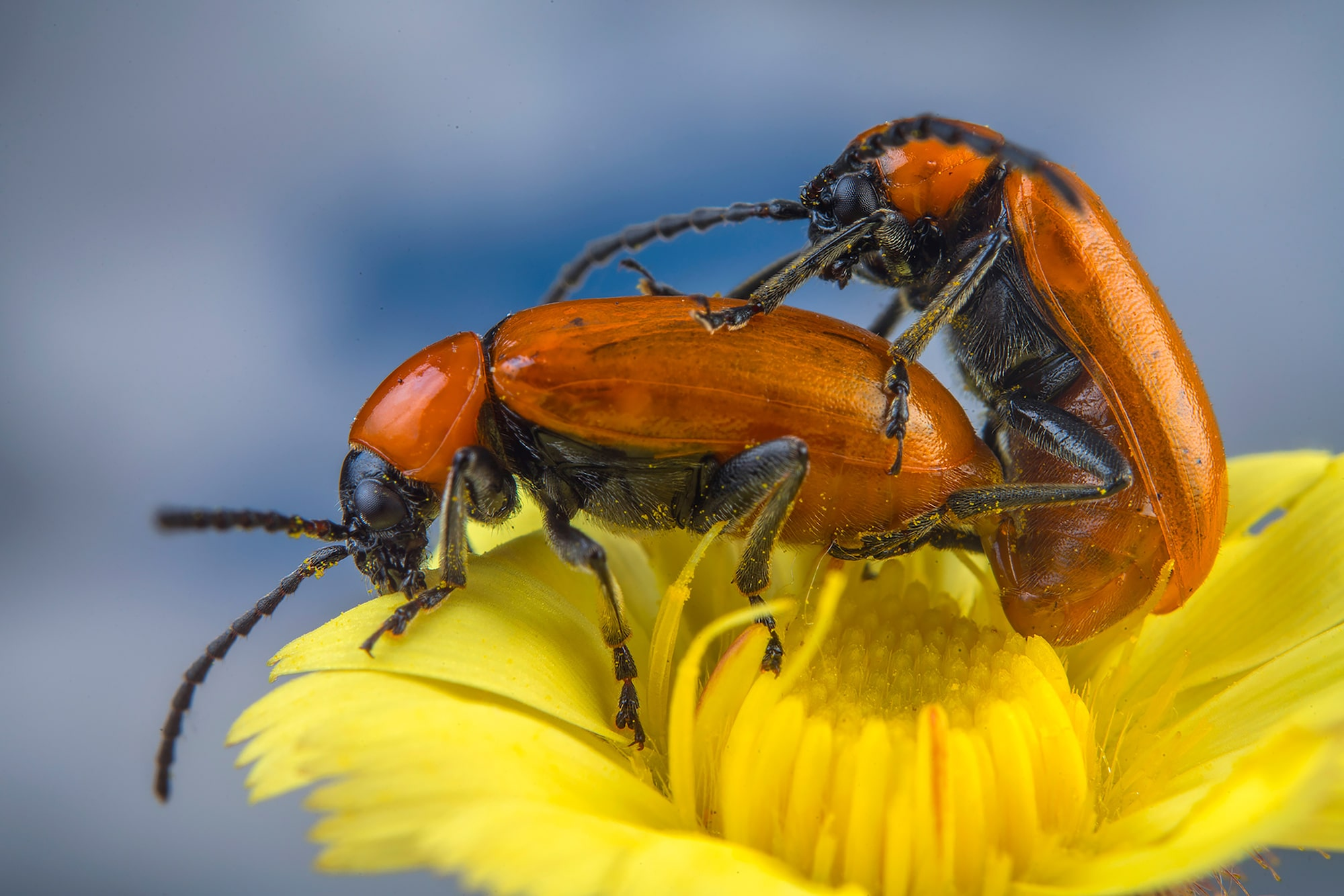 javier aznar sony alpha 7RIII macro shot of 2 beetles mating atop a flower