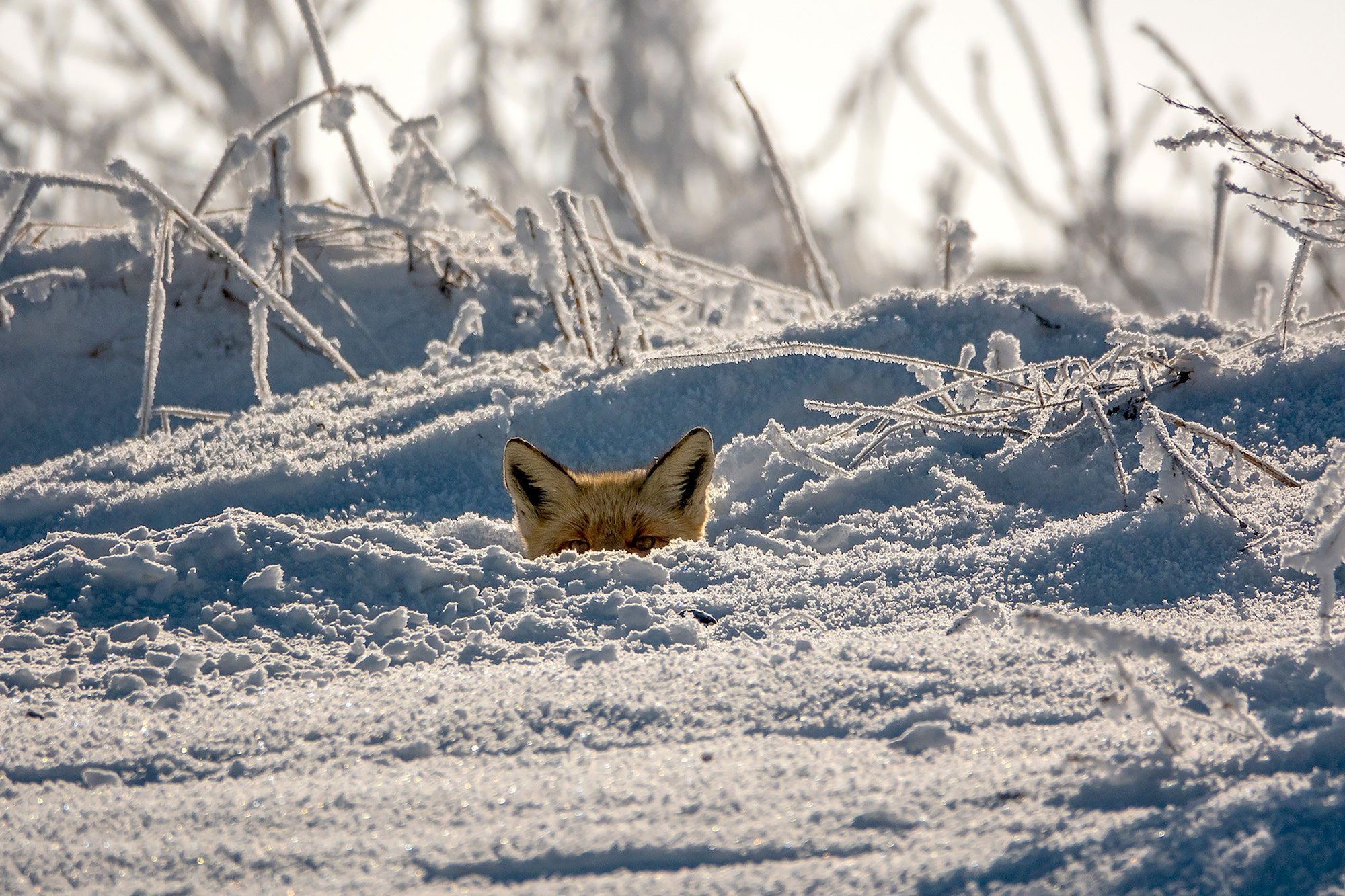 suha derbent sony rx10IV fox peers above a snowy ridge with just its eyes showing