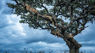 Chris-Schmid-Lionesses-asleep-in-tree-Tanzania