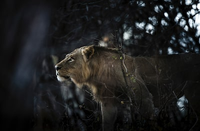 Chris-Schmid-Lioness-in-jungle-south-luangwa