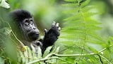 francis bompard sony alpha 9 a baby gorilla standing in the bush with his paw raised