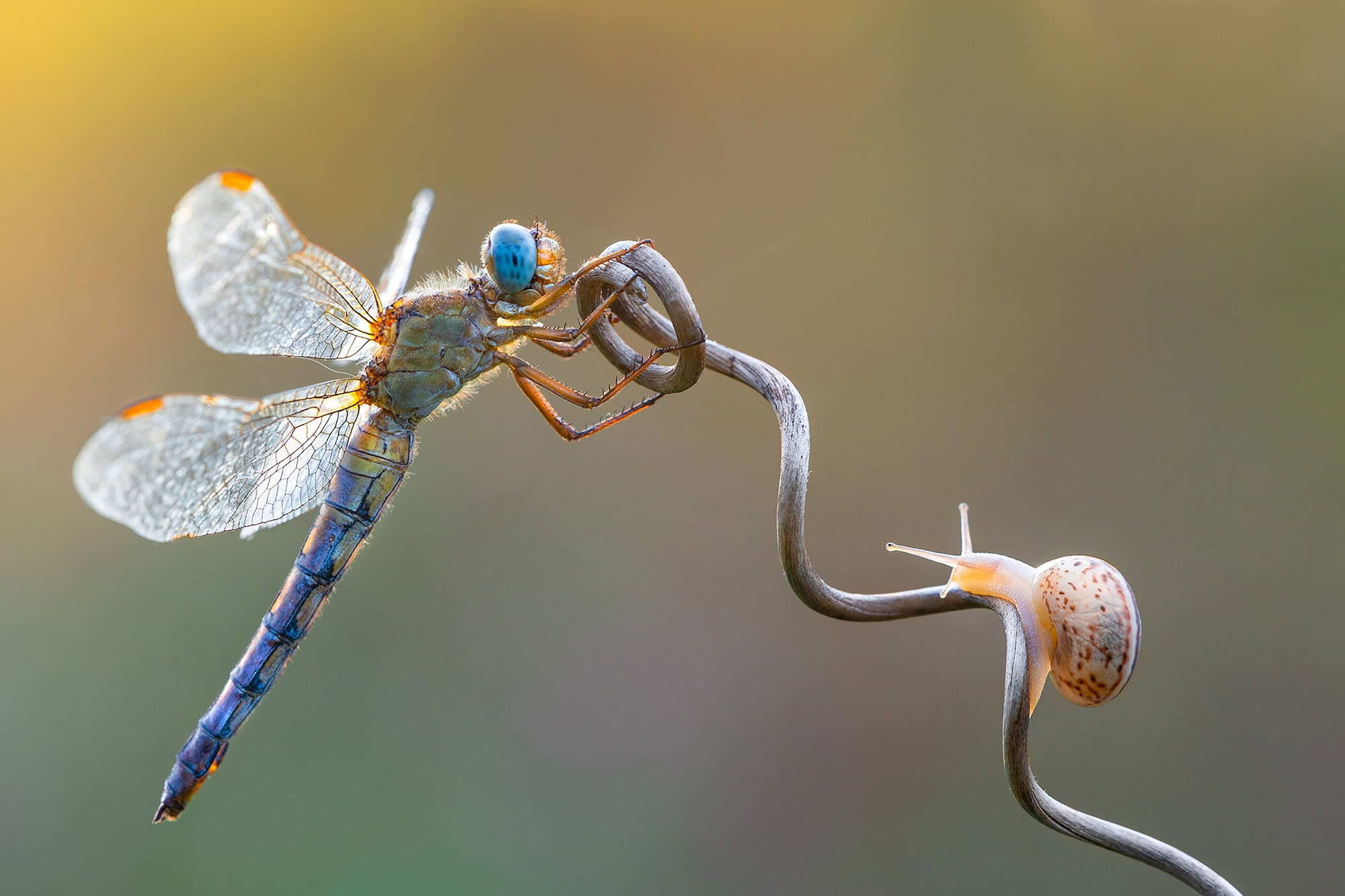 petar sabol sony alpha 7RIII dragonfly and snail clinging on to a flower stem