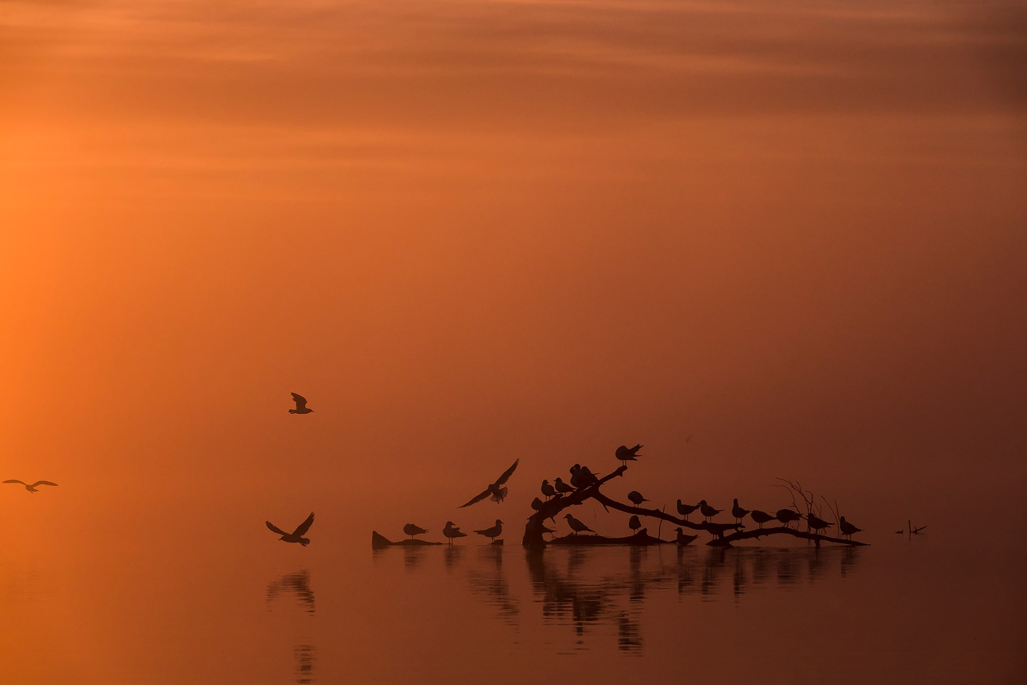 kaisa lappalainen sony rx10IV a flock of birds rests on a log in the water at dawn