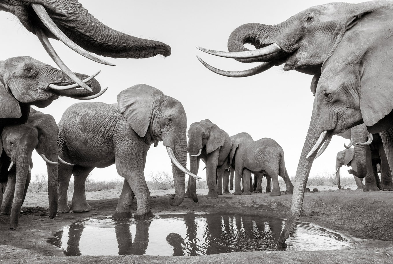 will burrard lucas sony alpha 6500 black and white elephants drinking from a puddle