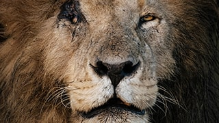Chris-Schmid-majestic-old-male-lion-portrait-kenya