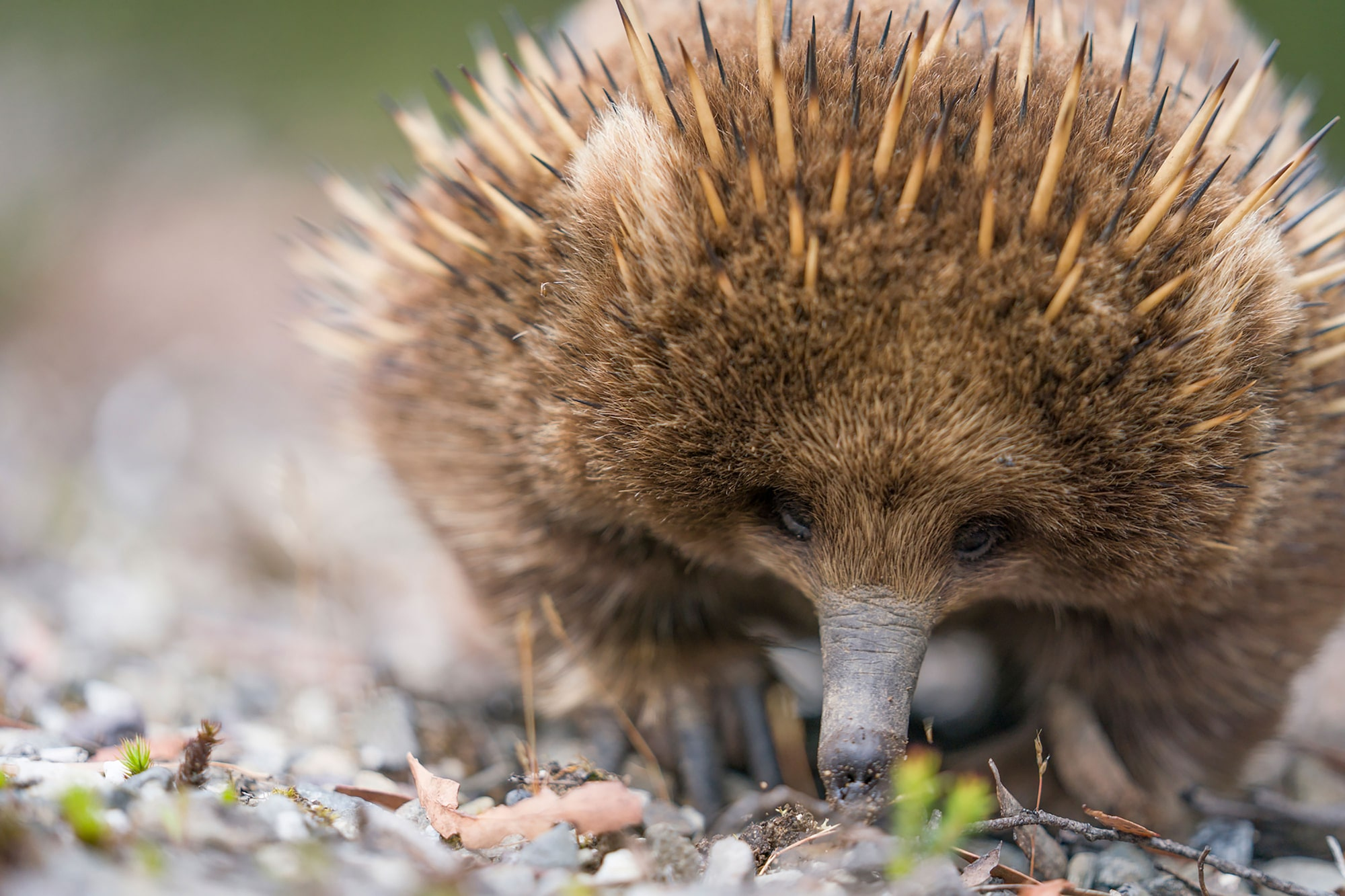 kaisa lappalainen sony alpha 9 echidna sniffs the ground for food