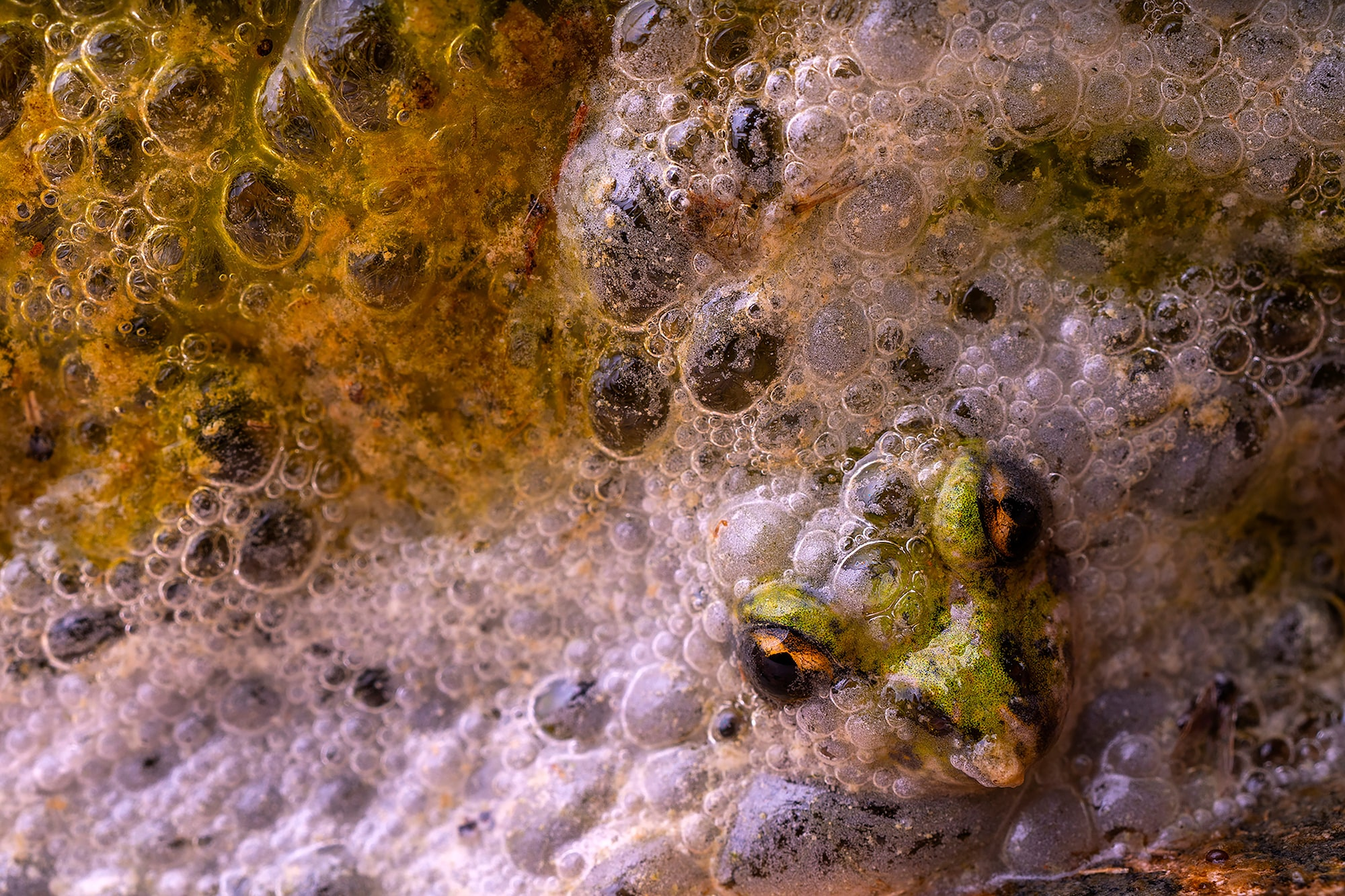 javier aznar sony alpha 7RIII a frogs head pokes out from a mass of bubbles