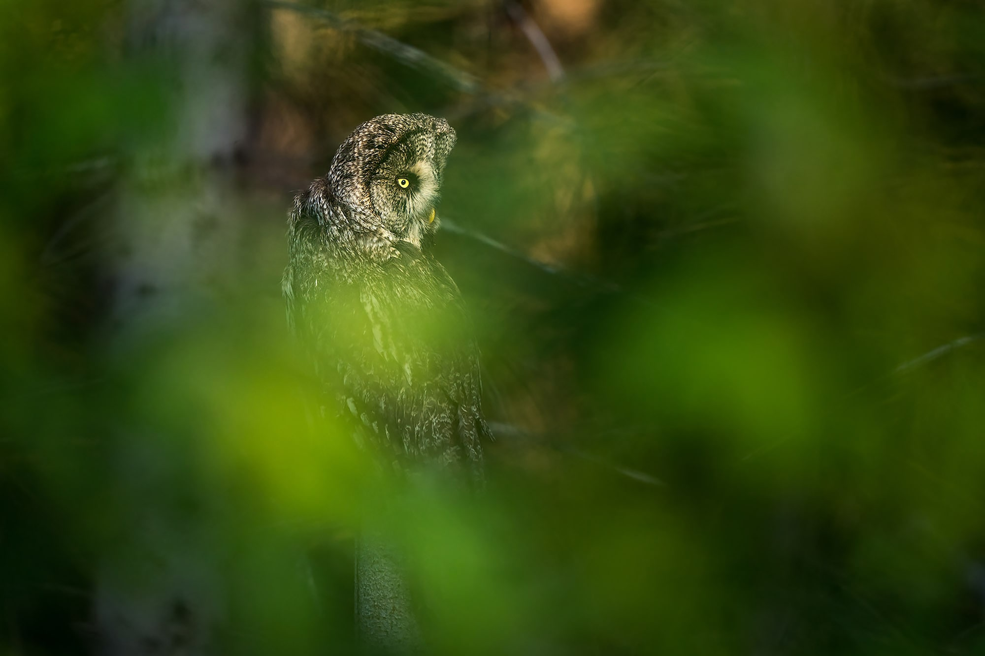floris smeets sony alpha 9 grey owl sitting in a tree hidden by foliage