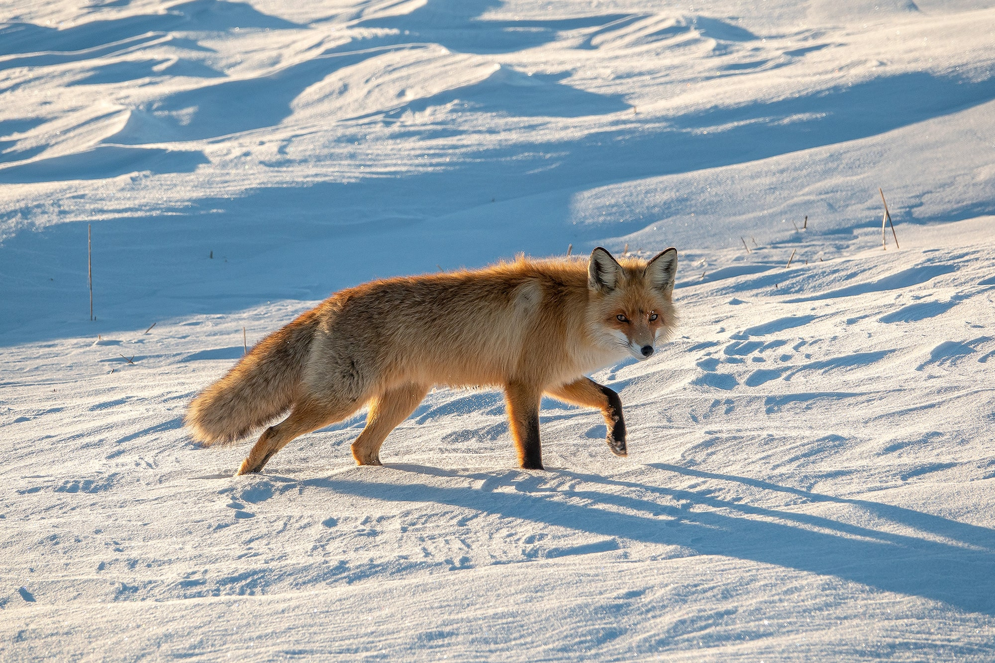 suha derbent sony rx10IV fox walking across the snow while looking at the photographer