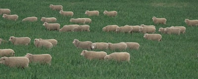 Standard Quality Image of Sheep