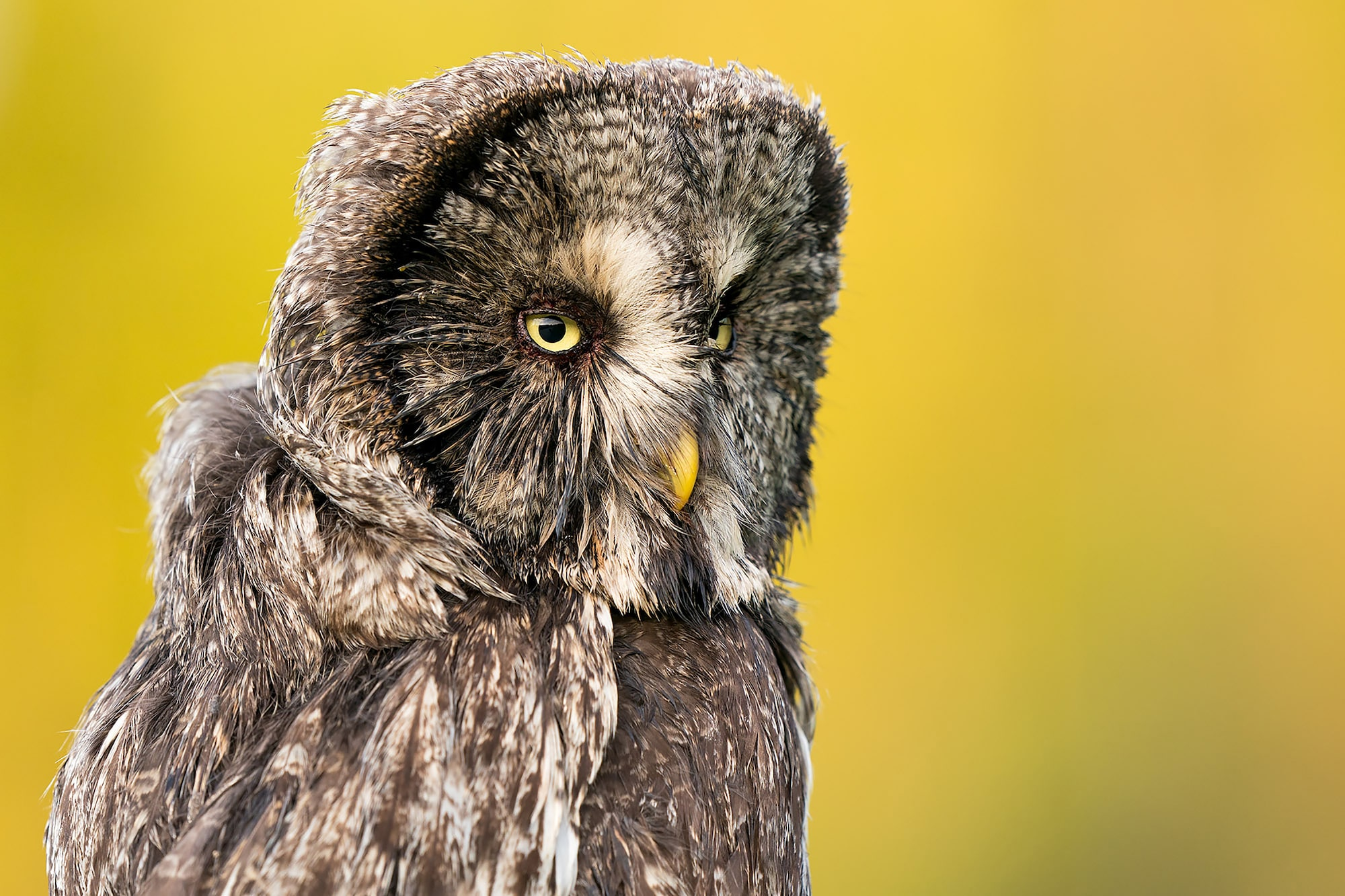 floris smeets sony alpha 9 grey owl in three quarter profile against a yellow background