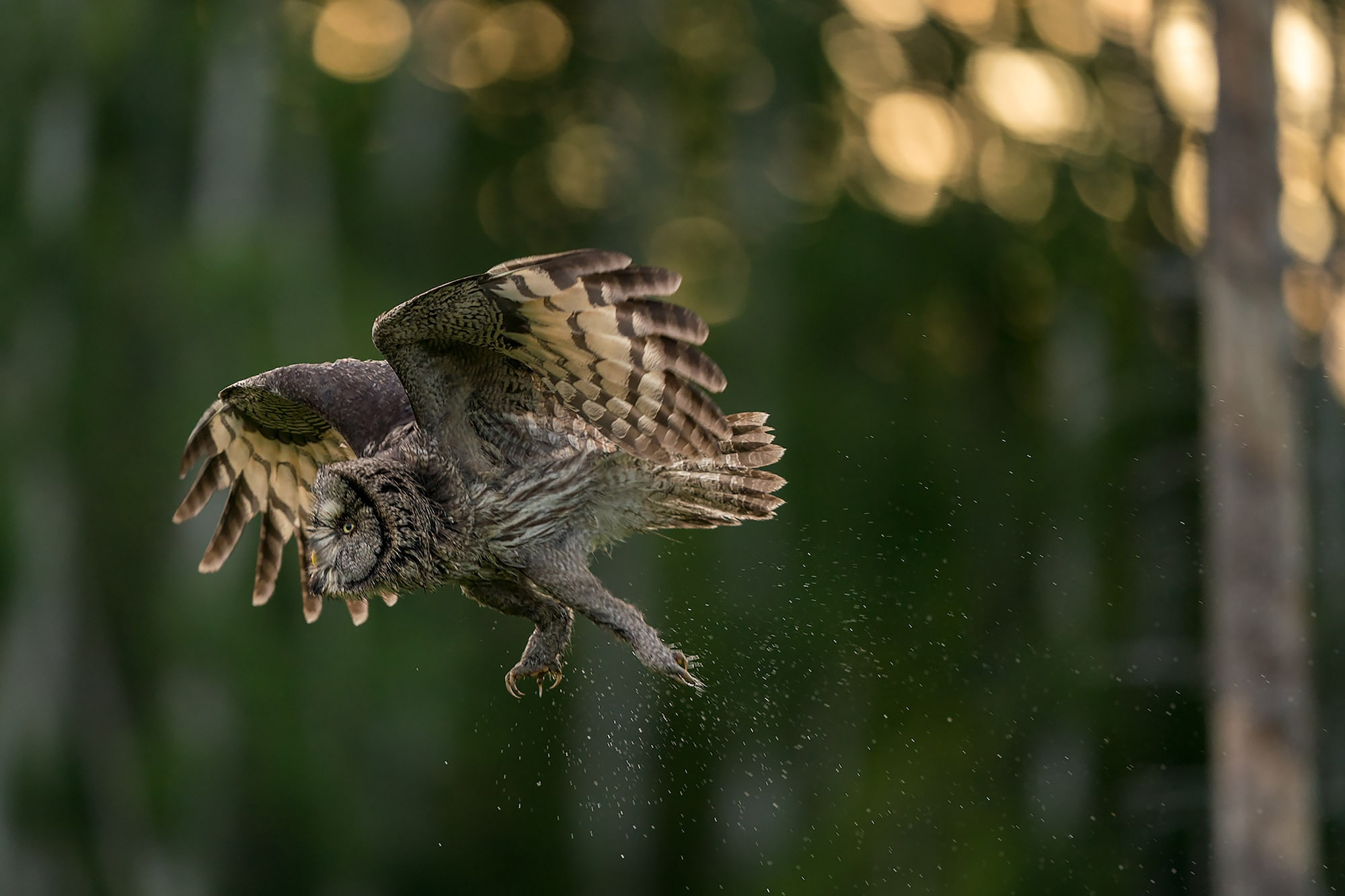 floris smeets sony alpha 9 grey owl takes flight with water droplets spraying from its body
