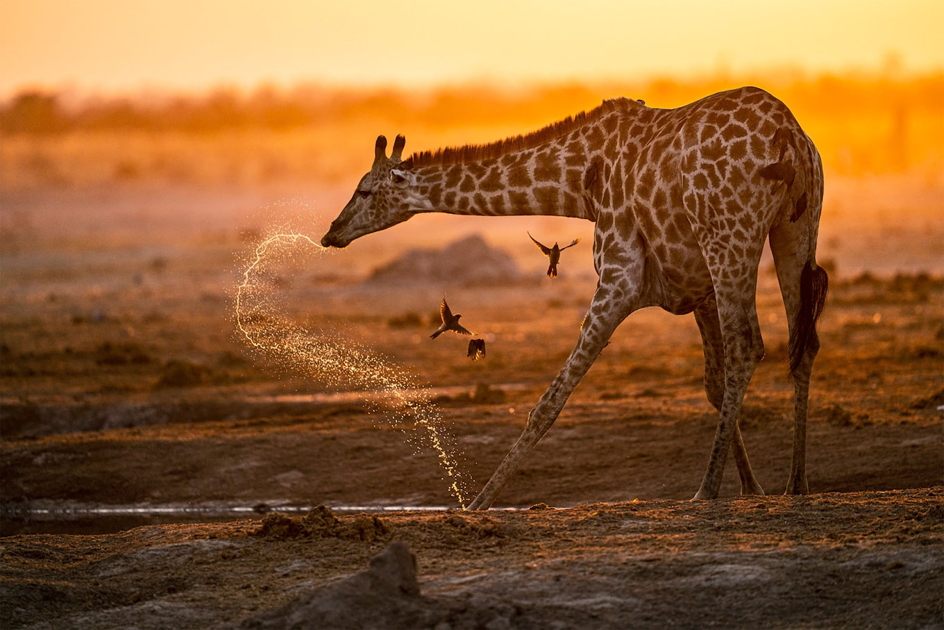 francis bompard sony alpha 7r3 a giraffe spits water while birds fly around